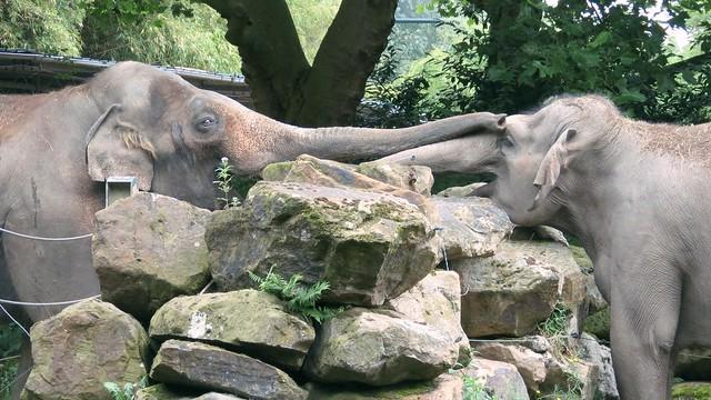 Knuffelende olifanten blijdorp
