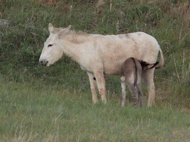 Wild Ass with suckling foal 20160616