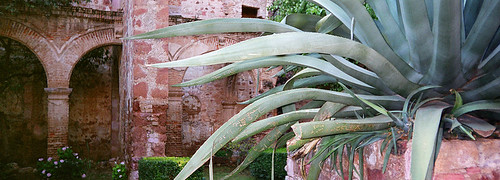 Ancient agave in amongst the ruins of a church in Zacatecas, Mexico