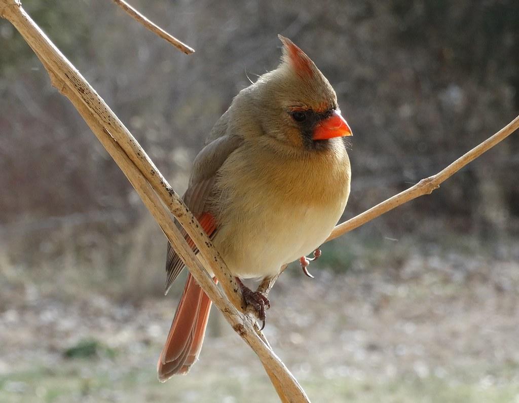 Northern Cardinal hen (cardinalidae)
