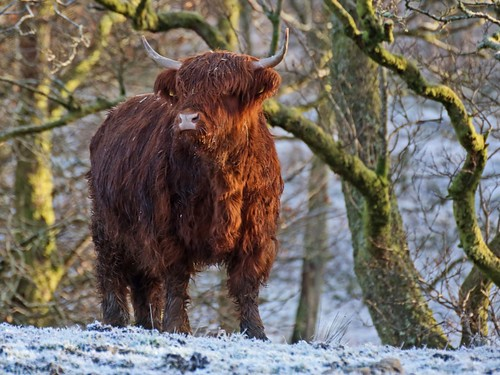 Scottish Highland Cow in the Snow