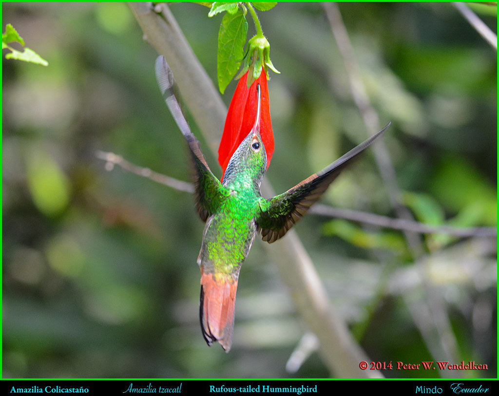 RUFOUS-TAILED HUMMINGBIRD Amazilia tzacatl Piercing a Red Flower (Overhead View) in Mindo in Northwestern ECUADOR. Hummingbird Photo by Peter Wendelken.