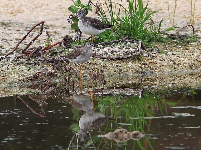 Greater and Lasser Yellowlegs 20141226