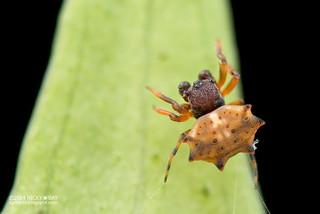Spiny orb web spider (Gasteracantha sp.) - DSC_4035