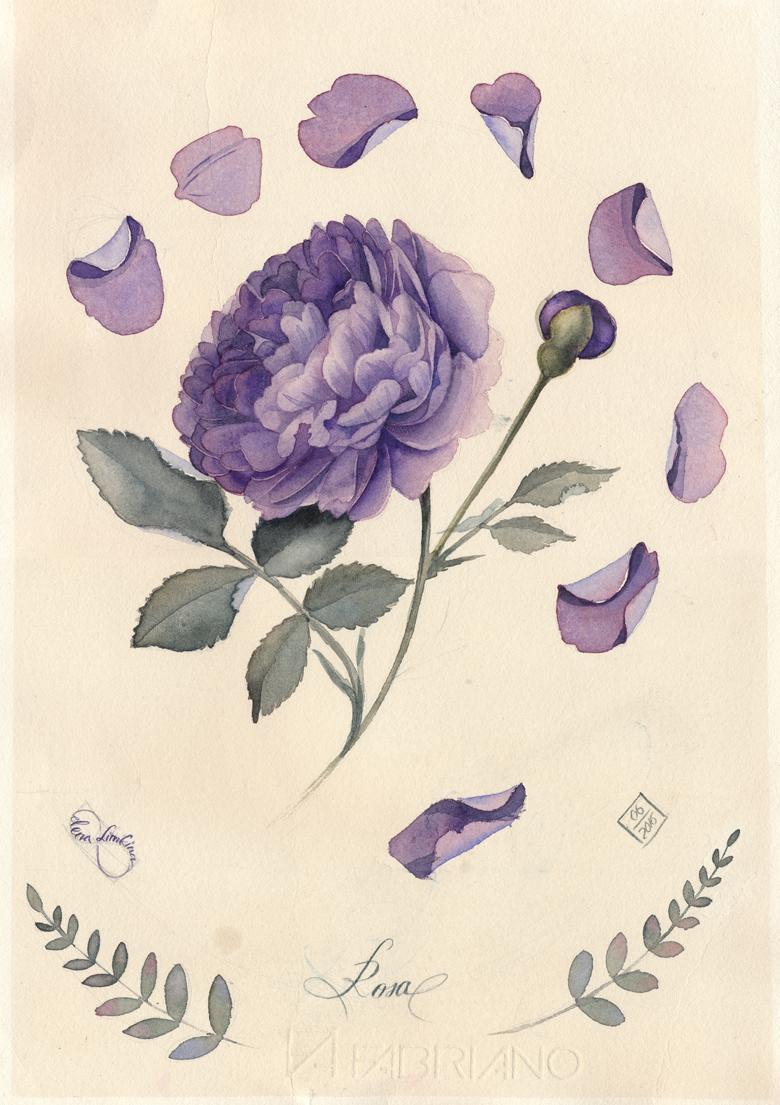 Rose (violet)_780