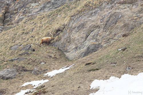 Alpine ibex - stambecco delle Alpi