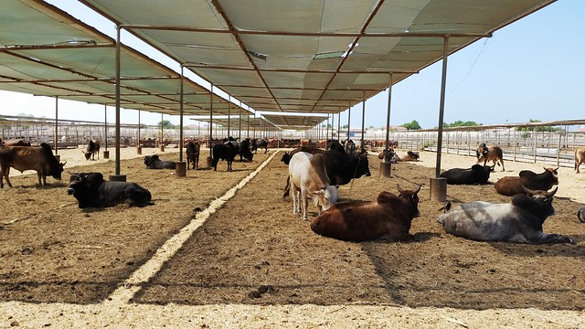 Cattle in quarantine awaiting export to Middle East from Berbera port, Somaliland