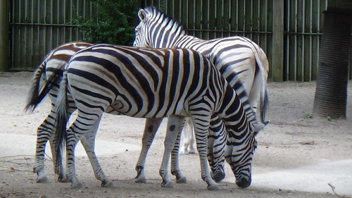 London Zoo July 16 zebras (1)