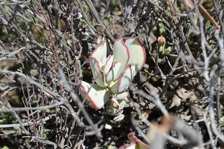 Cotyledon orbiculata   コチレドン オービキュラータ