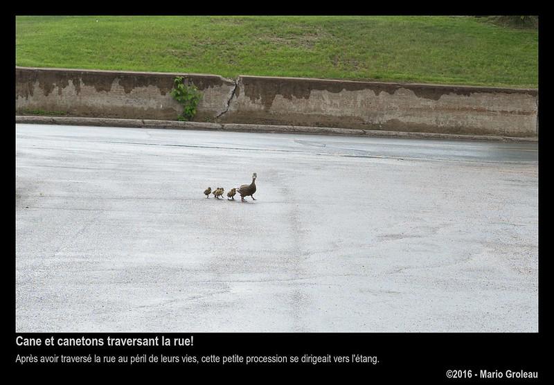 Cane et canetons traversant la rue!