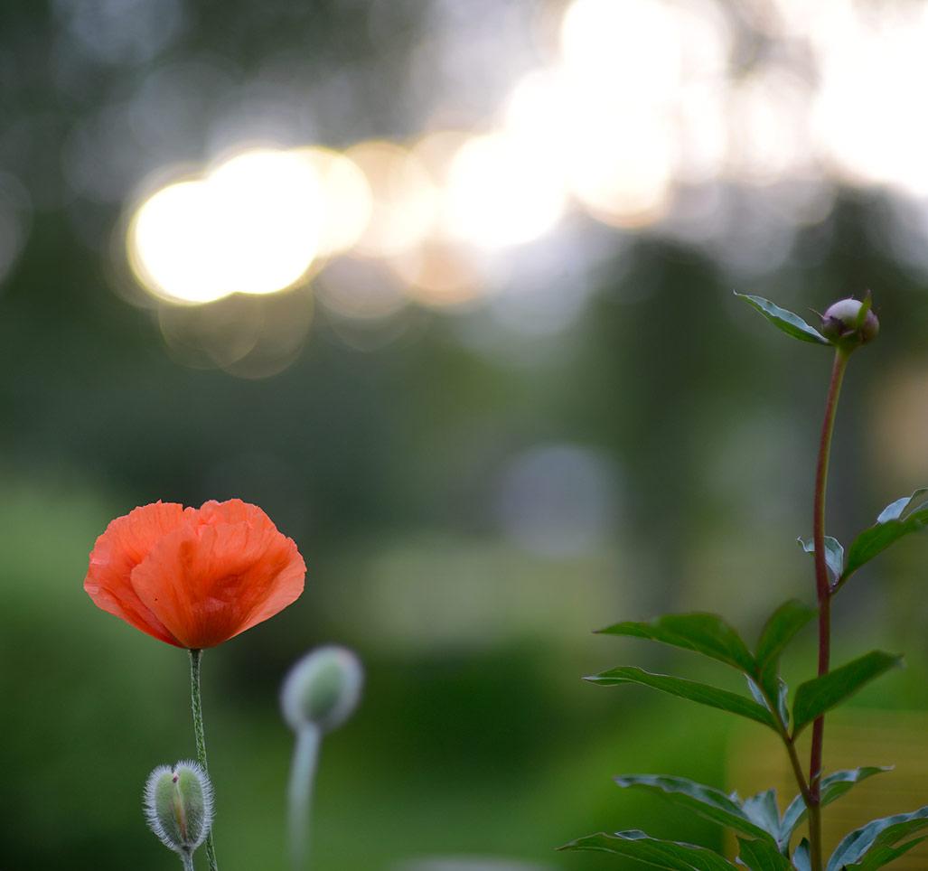 Poppy and midnight sun
