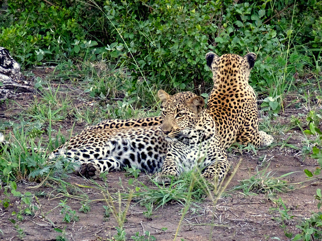 Lion Sands Safari Day 3- Leopards-001