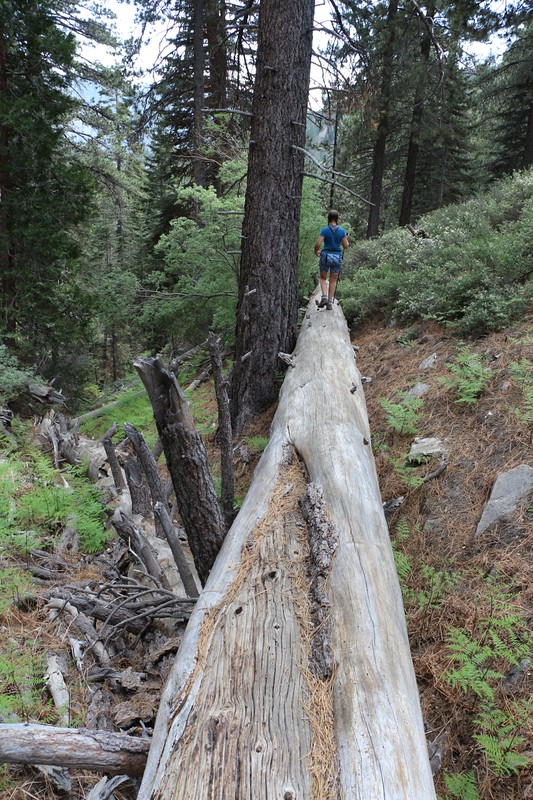 Crossing a dry ravine on a huge log as we head back toward camp