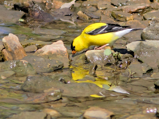 American Goldfinch HDR 04-20160505