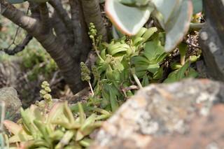 Crassula orbiculata   クラッスラ オービキュラータ
