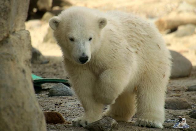 Eisbär Lili im Zoo am Meer 15.05.2016  167