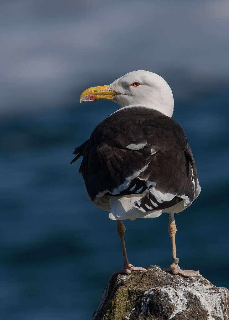 Great Black-backed Gull Isle of May,Scotland 2016