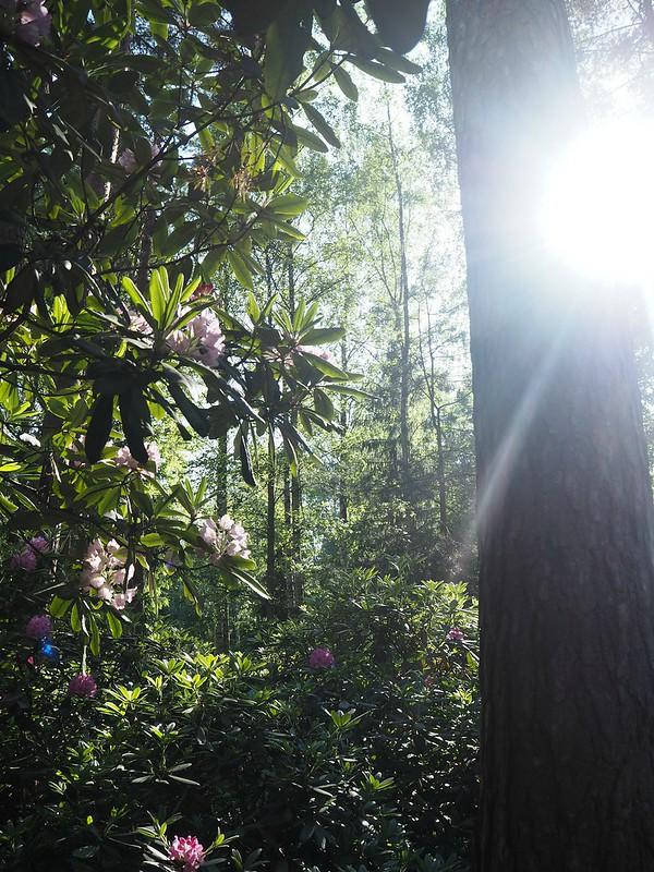 rodopuistohaagahelsinkiP6015633,rodoparkpinkflowersP6015542,rodopuistoP6015517, rhodopuisto, alppiruusupuisto, haaga, huopalahti, helsinki, suomi, finland, visit helsinki, tips, retki, nature, alppiruusu,rhododendron, haaga, rodopuisto, rhododendron park, alppi ruusut, kukat, flowers, haagan alppiruusupuisto, rhodopark, bloom, kukinta, june, kesäkuu, rodo shrubs, flowering time, kukinta aika, visit, sunlight, tips,