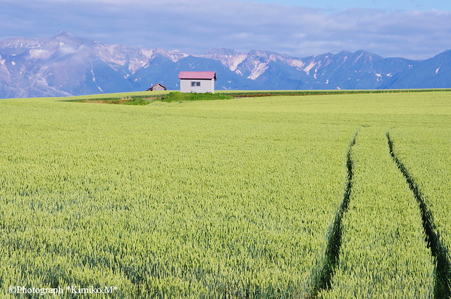 十勝岳と麦畑②