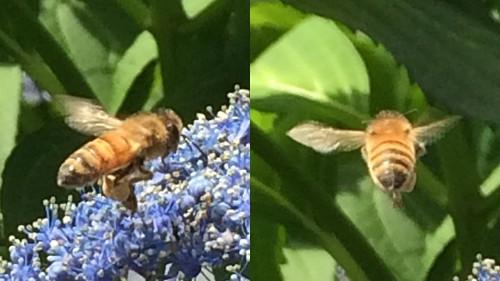 ミツバチ 2016.6.12