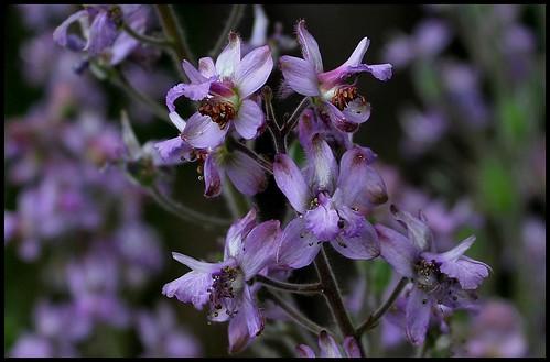Delphinium requienii (4)