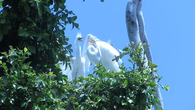 egret food fight