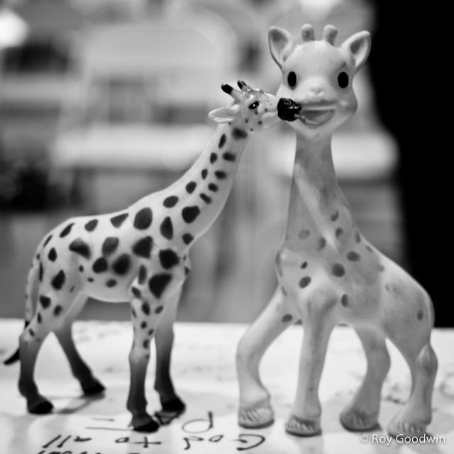 Giraffe love on the altar