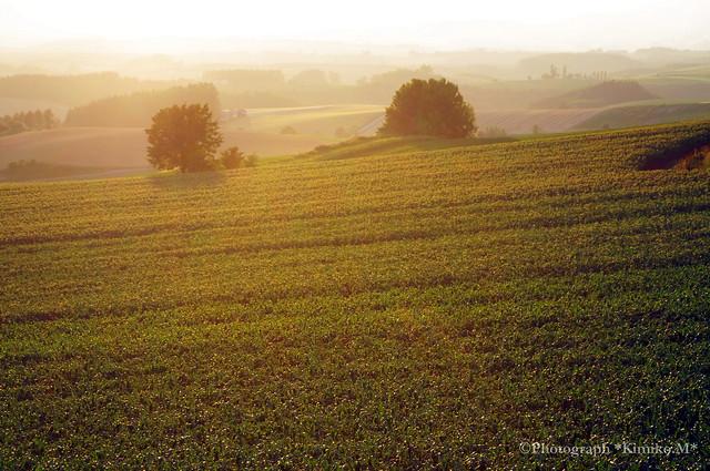 夕照のデントコーン畑