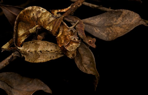 Satanic leaf-tailed gecko (Uroplatus phantasticus) old and young