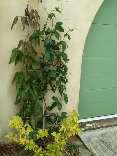 Passiflora 'Byron Beauty' - Page 2 27248906340_16eb90e2dc