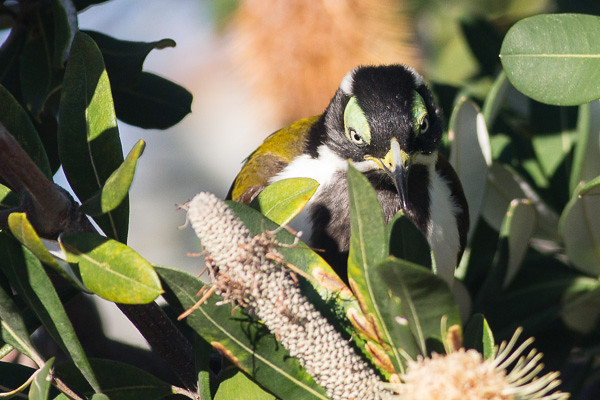 young Blue-faced Honeyeater