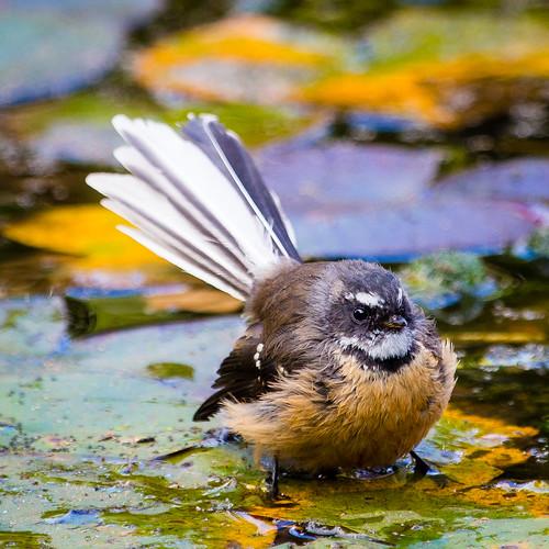 Fantail bathing
