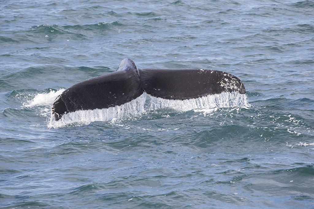 Humpback Whale   Iceland