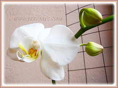 White Phalaenopsis Orchid cv. aphrodite (Moth Orchid, Phal.) blooming again in 4th Jan. 2015