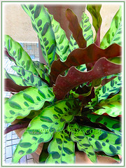 Calathea lancifolia (Rattlesnake Plant) thriving well at our courtyard, 7 June 2013