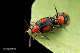 Leaf beetles (Arcastes biplagiata) - DSC_7505