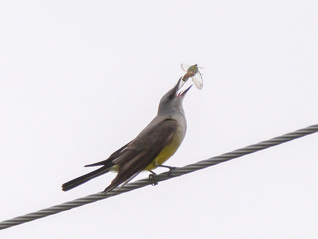 Western Kingbird eating Cicada - 3