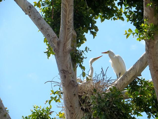 feeding egret baby
