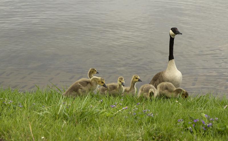 goslings - nibbling amid violets