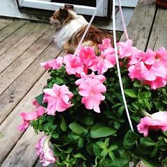 Gracie Petunia