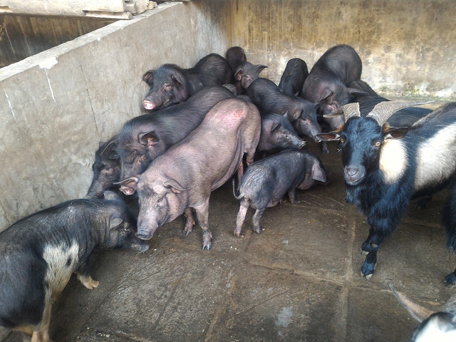 Native pigs in Lao Cai province