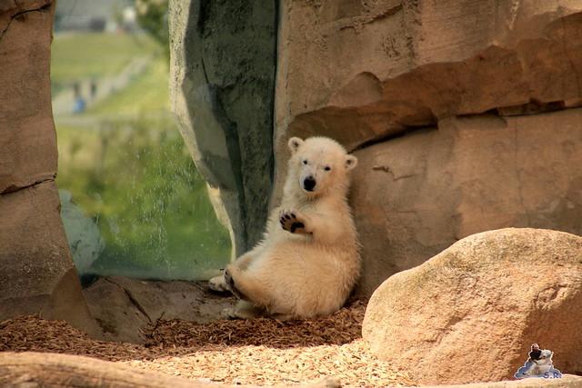 Eisbär Lili im Zoo am Meer 15.05.2016  317