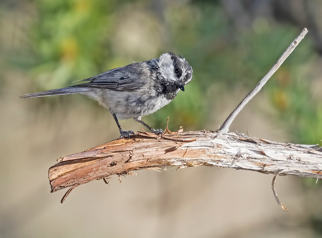 Mountain-Chickadee-17a-7D2-290616