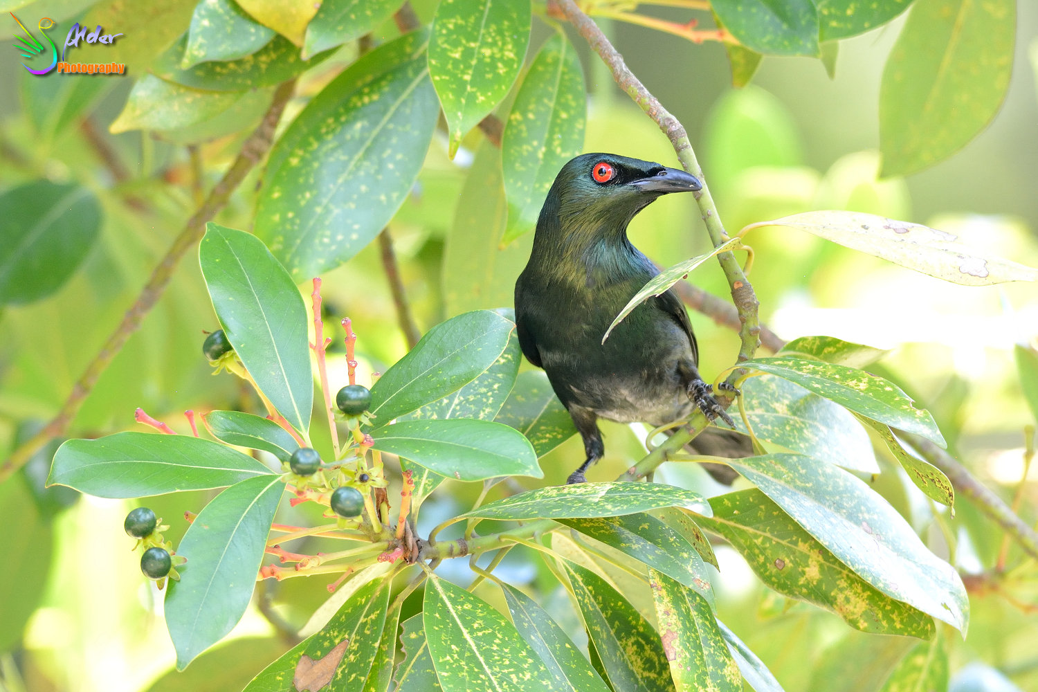Asian_Glossy_Starling_7611