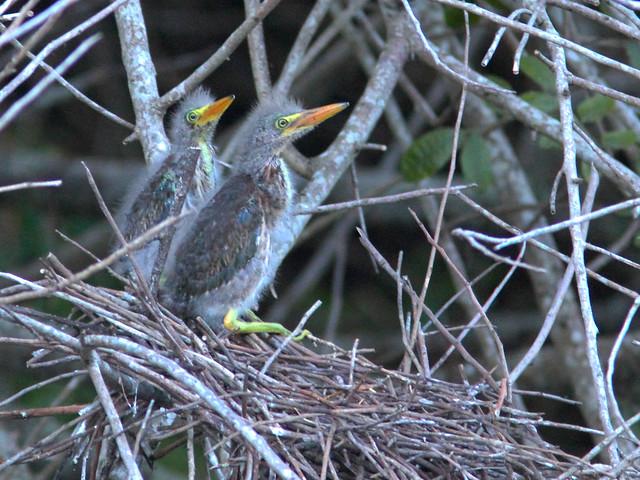 Green Heron nestlings after storm HDR 20160601