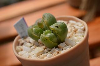 DSC_3240 Conophytum stipitatum コノフィツム ステイピタツム