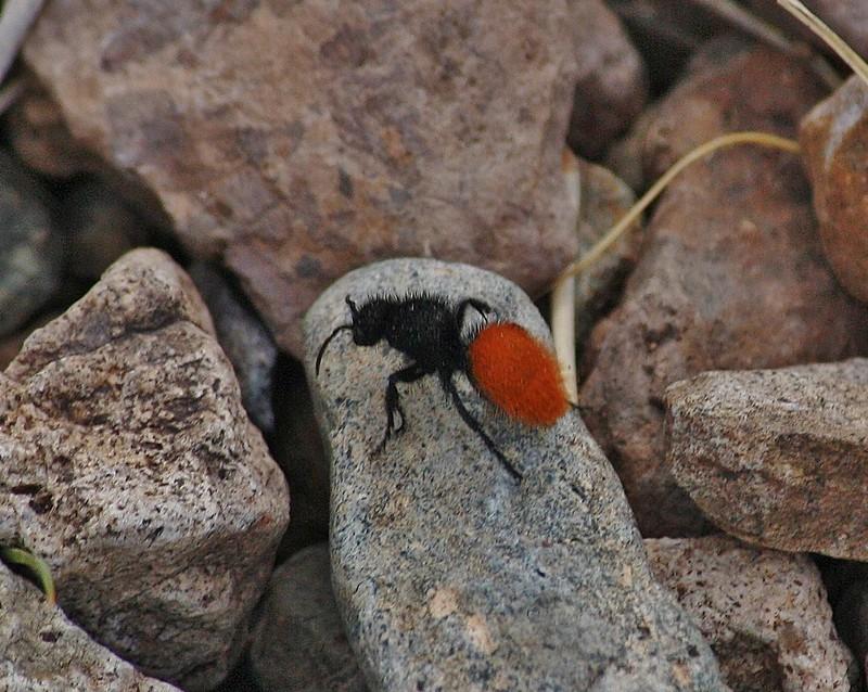 Dasymutilla klugii, Velvet Ant