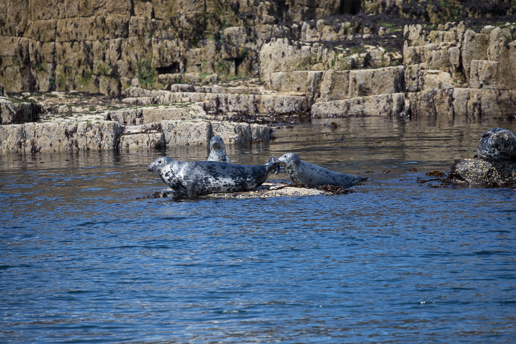 Grey Seal  Isle of May,Scotland 2016