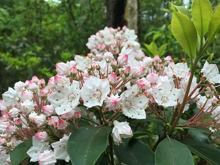 Mountain Laurel is now blooming