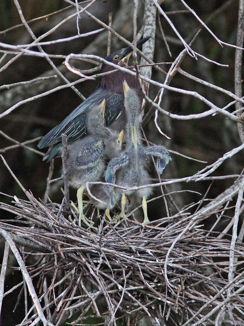 Green Heron 2nd adult feeds nestlings 5-20160527